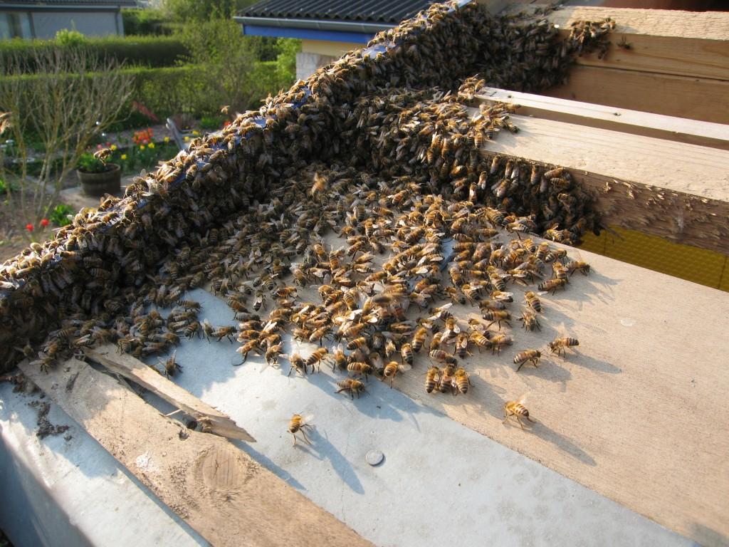 """Tagpladen er væk og bierne kan """"skovles"""" ud."""